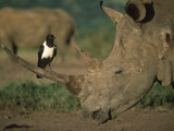 Pied Crow Perched on White Rhino Photographic Print by Martin Harvey