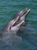 Bottlenose Dolphins Calling from the Water Photographic Print by Tom Brakefield