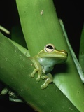 Treefrog Photographic Print by Joe McDonald