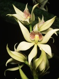 Encyclia Fragrans Orchid Blossoms Photographic Print by Kevin Schafer