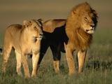 Male and Female Lion Fotografisk tryk af Paul Souders