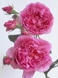 Hilda Murrell Roses Fotografiskt tryck av Clay Perry