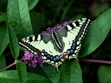 Swallowtail Butterfly Photographic Print by George Mccarthy