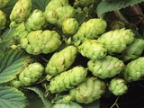 Hops Photographic Print by Clay Perry