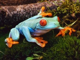 Red-eyed Treefrog Photographic Print