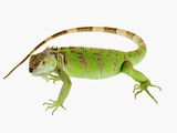 Green Iguana Photographic Print by Martin Harvey