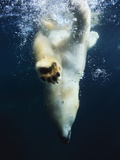 Polar Bear Swimming Photographic Print by Stuart Westmorland