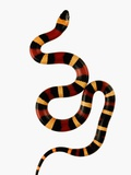 Pueblan Milk Snake Photographic Print by Martin Harvey