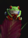 Red-Eyed Tree Frog Perched on Plant Photographic Print by David Northcott