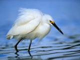 Snowy Egret Photographic Print by Joe McDonald