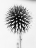 Globe Thistle Photographic Print by David Roseburg