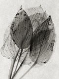 Hosta 1 Photographic Print by David Roseburg