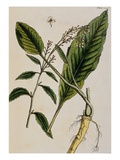 Horseradish Giclee Print by Elizabeth Blackwell