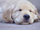 Golden Retriever Puppy Sleeping Photographic Print
