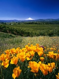 California Poppies and Mount Hood Photographic Print by Craig Tuttle
