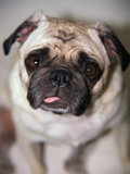Pug Dog Photographic Print by Allana Wesley White
