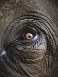 Indian Elephant&#39;s Eye Photographic Print by Theo Allofs