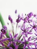 Alliums Photographie par David Roseburg