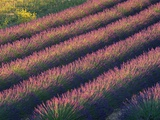Rows of Lavender Growing in Field Photographic Print by Gavriel Jecan