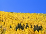 Aspen Trees on Mountainside Photographic Print by William Manning