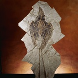 Fossil Bird Photographic Print by Layne Kennedy