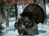 Wild Turkey Photographic Print by Tom Brakefield