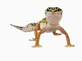 Leopard Gecko Photographic Print by Martin Harvey
