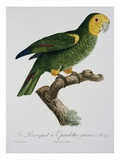 Yellow-Shouldered Parrot Giclee Print by Jacques Barraband