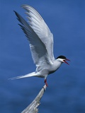 Perching Arctic Tern Spreading Wings in Manitoba Photographic Print by Arthur Morris