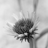Cone Flower Photographic Print by David Roseburg