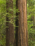 Redwood Trunks Photographic Print by Tom Grill