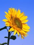 Giant Sunflower Photographic Print by Richard Klune