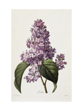 Lilas Reproduction proc&#233;d&#233; gicl&#233;e par Pierre Joseph Redoute