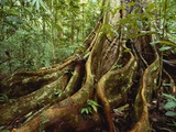 Roots and Trunk of Sloanea Tree Photographic Print by Gary Braasch