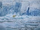 Polar Bear on Ice at Monaco Glacier Fotografisk tryk af Hans Strand