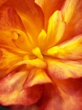 Dahlia Photographic Print by David Roseburg