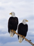 Bald Eagles on Tree Branch Photographic Print by Joe McDonald