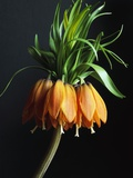 Crown Imperial Photographic Print by Clay Perry