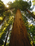 Redwood Tree Photographic Print by Charles O'Rear