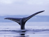 Tail Fin of Humpback Whale Sounding in Frederick Sound Photographic Print by Paul Souders