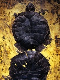 Pair of Freshwater Turtle Fossils Photographic Print by Jonathan Blair