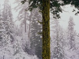 Mossy Green Tree in a Snowy Forest Photographic Print by Wayne Green