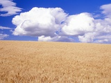 Cumulus Clouds Floating over Wheat Fields Photographic Print by Craig Tuttle