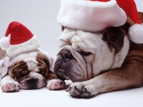 Bulldog Santas Photographic Print by Larry Williams