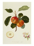 The Trumpington Apple Giclee Print by William Hooker