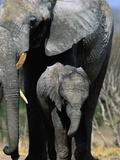Elephant Mother and Calf Photographic Print by Theo Allofs