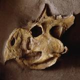 Protoceratops Skull Photographic Print by Louie Psihoyos