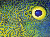 Blue and Yellow Triggerfish Eye Fotodruck von Bill Varie