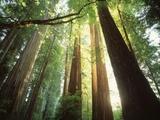Jim Zuckerman - Redwood Forest Fotografická reprodukce