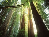 Redwood Forest Fotografie-Druck von Jim Zuckerman